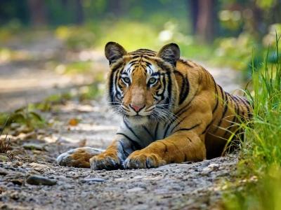Bardiya-Tiger2