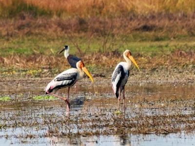 Panited-Stork-Birding-Smasara-Trekking1
