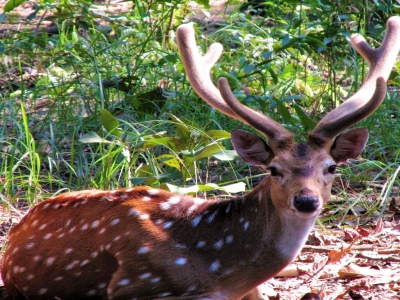 edited-Spotted deer