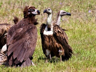 eurasian black vulture