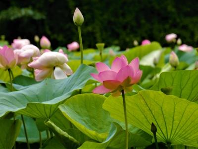 lotus-plumvillage