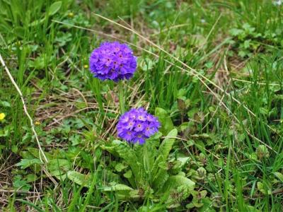 Flowers-of-Khaptad-Samsara-Trekking