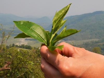 Tea-Garden-Lwang-Village